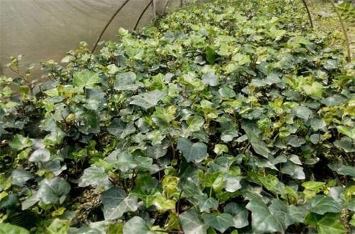 常春藤有多少品种,盘点常见的六大品种