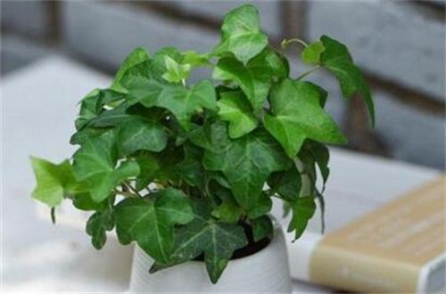常春藤可以一直水培吗