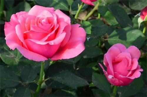 阿斯匹林不適合養的花,盤點4種喜堿性花卉