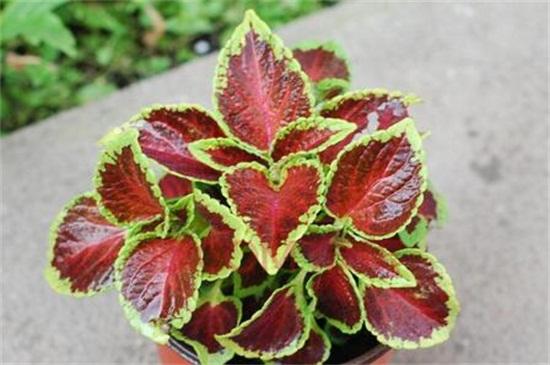 彩叶草品种有哪些,盘点常见的五大品种