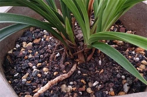 兰花植料经典配方树皮,4种最经典兰花植料配方