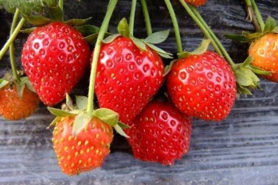 草莓烂根怎么处理,4种方法解决烂根情况
