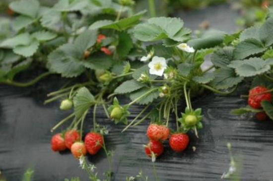 草莓不开花是什么原因,光照不足或是肥水不当
