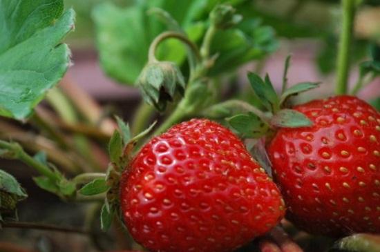 草莓休眠了怎么办,喷洒赤霉素并升高温度