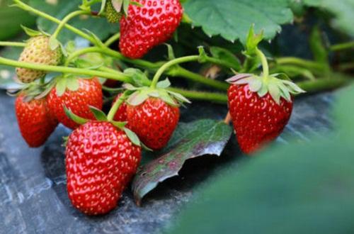 草莓不能和什么一起吃,详解草莓4大食用禁忌