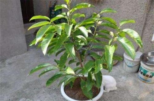 盆栽白兰花的养殖方法,更换盆土充足光照