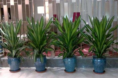 也门铁和巴西木的区别,植株形态叶片花朵不同