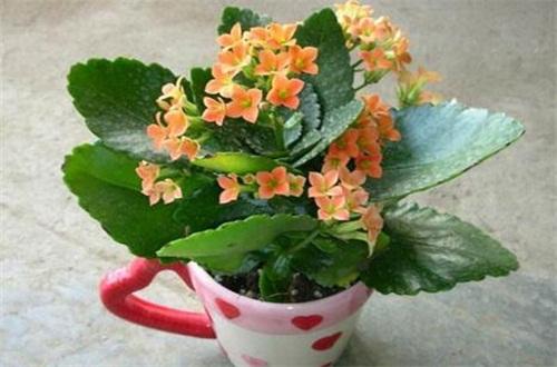 长寿花什么时候开花旺,在4~5月花朵开最旺盛
