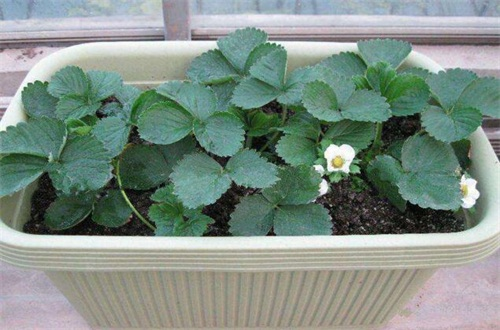 草莓什么时候结果,大概在4~5月开花结果