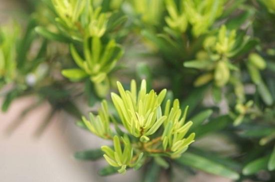 初春怎样养盆栽罗汉松,更换盆土并整枝修剪