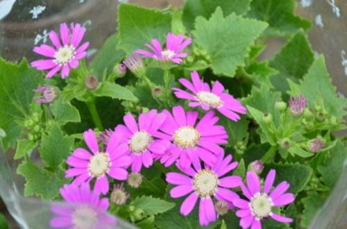 瓜叶菊怎么结种子,异株授粉结种