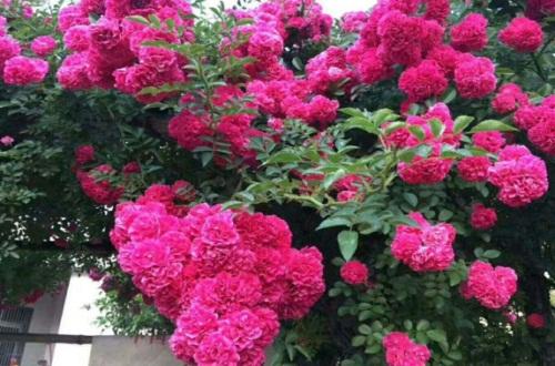 红木香栽培管理方法,补光控温以及春季修剪