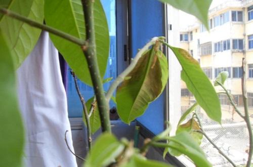 白兰花叶子发黄怎么办,半阴养护并治疗黄化病