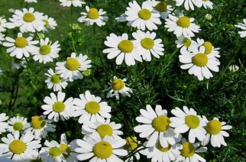 白晶菊冬天养殖的禁忌,详解4大白晶菊养殖禁忌