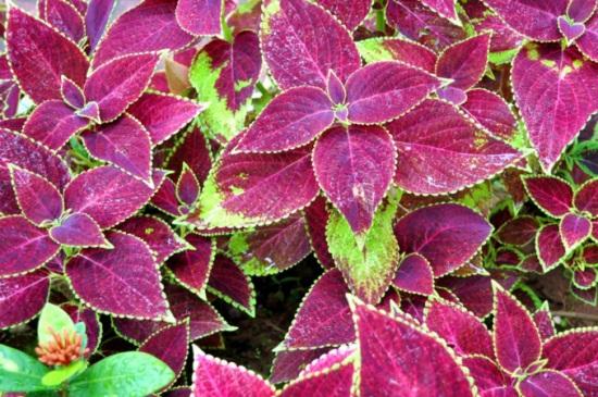 彩叶草适合在室内种植吗,观赏能力高适合室内种植
