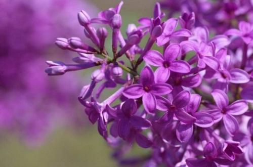 紫色丁香花的花语,花语寓意着初恋