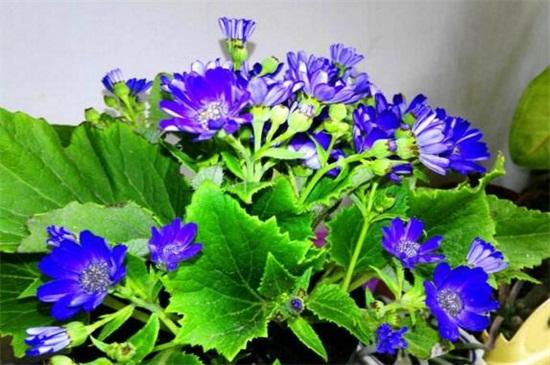 瓜叶菊花败后怎么处绿植屋理,需增强光照修剪养护