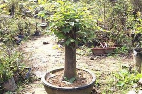 日本榉树盆景怎么养,需充足光照并整形修剪