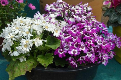 瓜叶菊开花后就死吗,花期后可收集种子播种