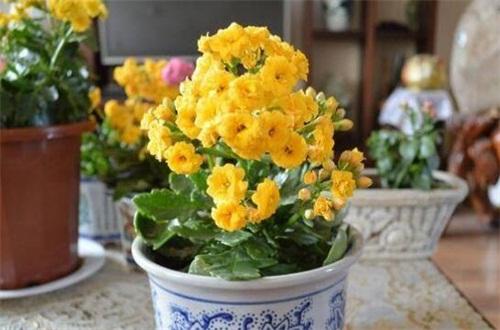 家里养长寿花有什么好处,可改善室内风水