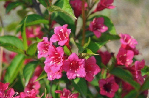 锦带花什么时候开花,春末4~6月开花