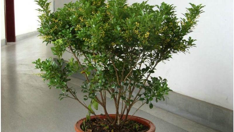 米兰花的水培方法