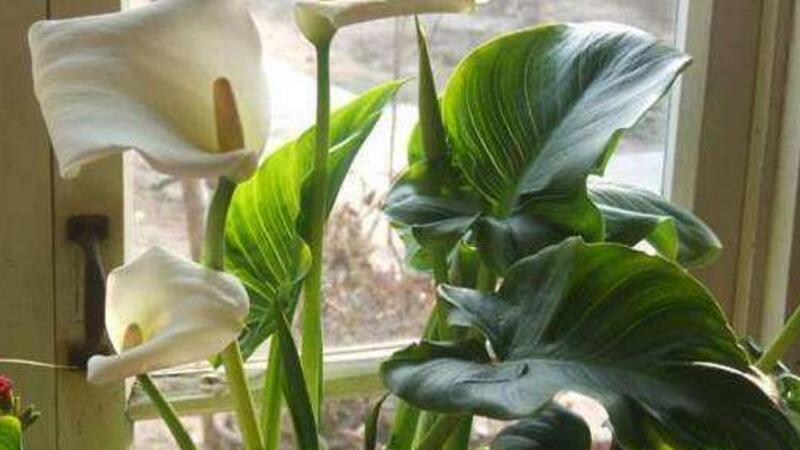 马蹄莲为什么不开花