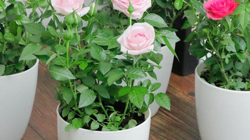 玫瑰花盆栽的养殖方法和注意事项