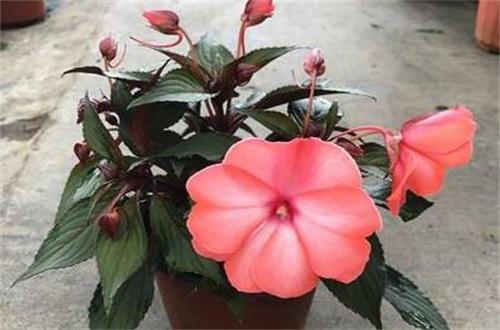 金凤花的繁殖方式,种子浸泡催芽栽植