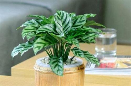 孔雀竹芋可以种在卧室吗