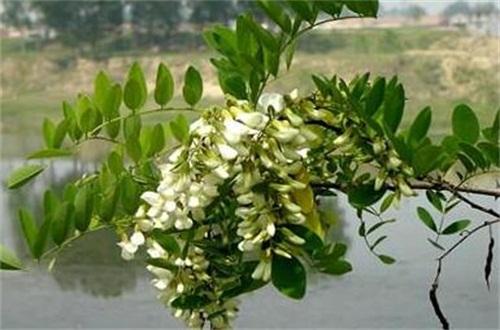 槐花夏季常见虫害及防治方法