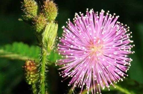 含羞草有什么药用价值,可止咳化痰安神止痛