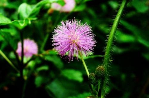 含羞草的风水学作用,有助家庭和睦
