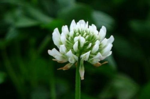 白车轴草的花语及传说,象征祈求与希望