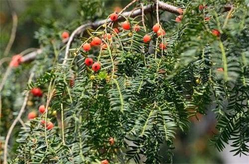 红豆杉冻坏了怎么办,光照修枝控温保暖养护