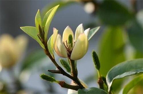 含笑花Yes? 养开花多,4个步骤使其枝条开满花