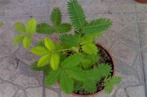 买回来的含羞草怎么进行播种,配土撒种子繁殖