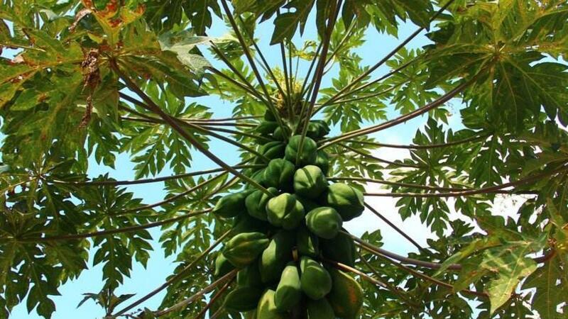 木瓜树要如何养护