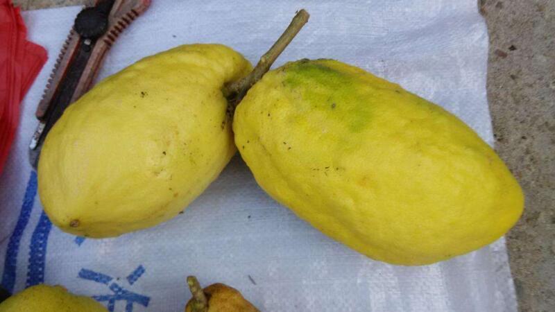 香橼和柠檬的区别