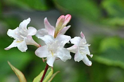 锦带花的花语和文化内涵,花语为前程似锦以及绚烂