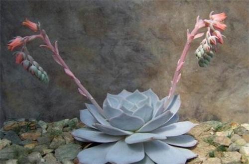 丽娜莲什么时候开花,花期大概在春季时
