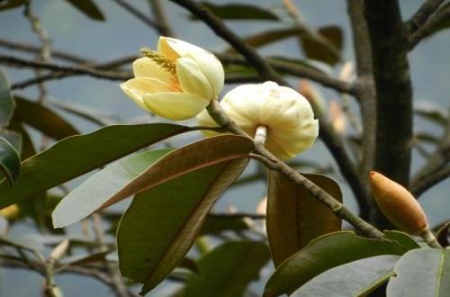 含笑花的扦插方法,剪取枝条并生根水浸泡