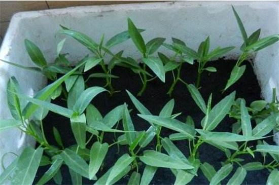 空心菜的阳台种植技巧,春季播种浇水采收管理
