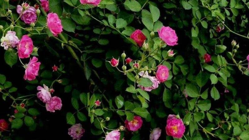 蔷薇花怎么不开花