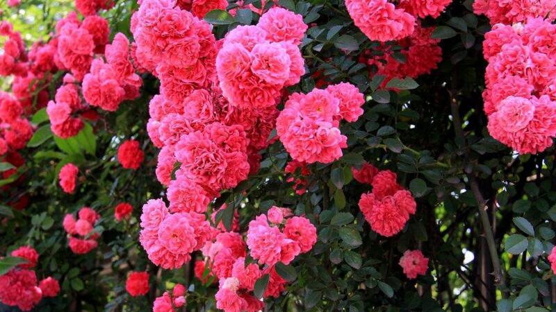 蔷薇不开花的reason