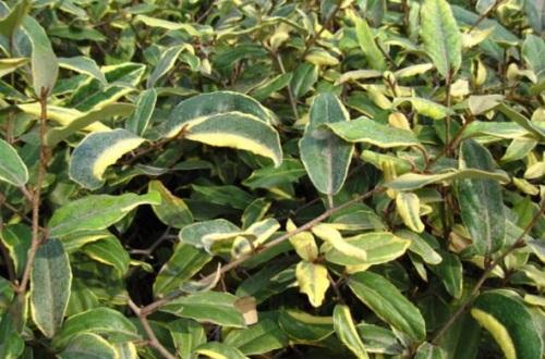 银姬小蜡和金边黄杨的区别,4大外形特征区分两者