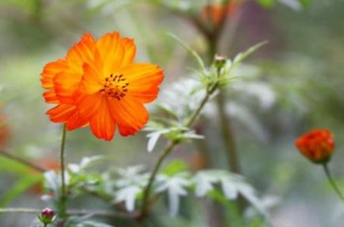 硫华菊和花菱草有什么区别,4大外形特征区分两者