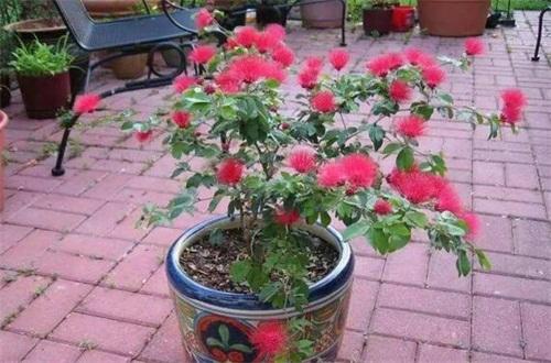 合欢花的移栽和管理,春秋配土重新上盆