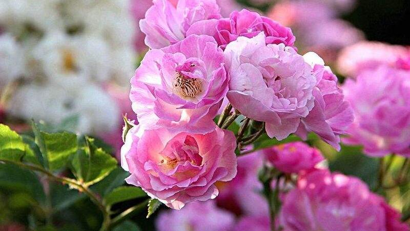 蔷薇花虫害及防治方法
