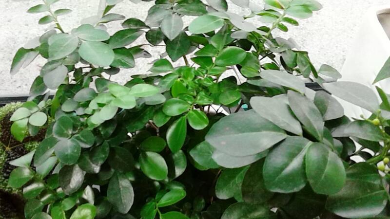 盆栽七里香怎么播种